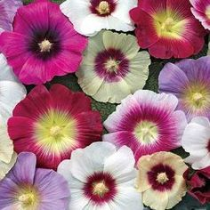 Halo Hollyhock