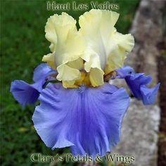 HAUT LES VOILES 2000 Tall Bearded Iris - Ruffled & Fragrant **LAST ONE**