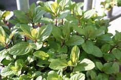 Chocolate Mint. Leaves of chocolate mint plants add versatility to drinks, desserts and garnishes. Growing chocolate mint, both indoors and outside, is an easy way to have a fresh supply on hand. Click here to learn more.