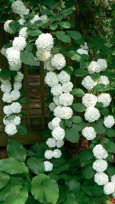 Margaret Moseley's viburnum in Atlanta, Georgia • photo: Martha Smith Tate on Garden Photo of the Day
