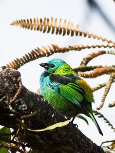 Tangara seledon - Green-headed Tanager
