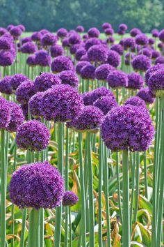 Großer Kugel-Lauch eindrucksvoll bis 1 Meter hohe Stängel Allium Giganteum Blume