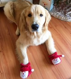 Golden Retrievers do not like anything on their feet!