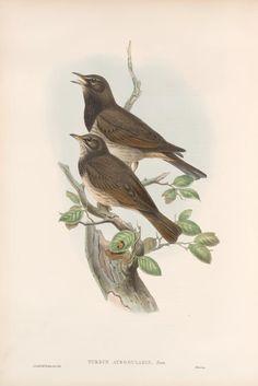 Turdus atrogularis. Balck-throated Thrush.