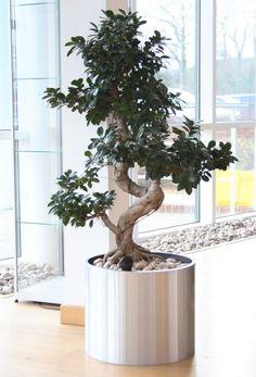Ficus Ginseng S-shaped in brushed aluminium pot at Garmin European HQ Southampton UK