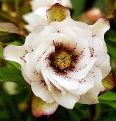 Hellebore, in a shade garden, evergreen interest