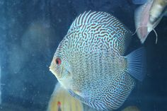 Blue Snakeskin Discus Fish from Discus Delivery USA!