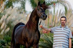 Mirajh RCA (Alixir x Rhapsody In Black by Thee Desperado), Black Egyptian Arabian Champion Stallion, exported to Egypt #rhapsodyinblack #theedesperado