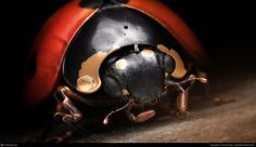 Title: Ladybird Macro  Name: Denis Bodart  Country: Belgium  Software: 3ds max, Photoshop, VRay