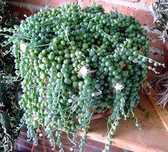 Senecio rowleyanus. Planta rosario. Sus hojas esféricas simulan racimos de uvas.