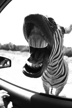 Zebra - Have I got something stuck in my teeth? Baby Animals, Funny Animals, Cute Animals, Beautiful Creatures, Animals Beautiful, B&w Wallpaper, Foto Poster, Black And White Aesthetic, Black And White Pictures