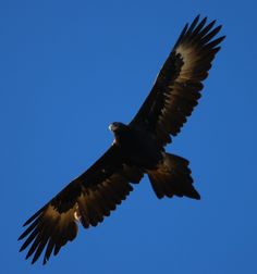 Wedge-tailed+Eagle+05.jpg 1,497×1,600 pixels