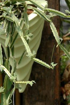 Cissus cactiforme