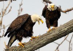 Nest cam livestreams bald eagle parents feeding a cat to their eaglets