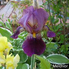 Melchior | Historic Iris Preservation Society