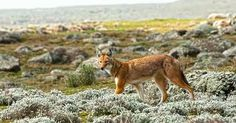 This is the Ethiopian Wolf, endemic to #Ethiopia and lives mainly in Simen and Bale mountains national parks.