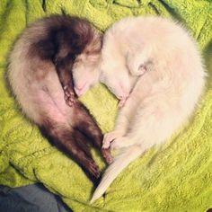 ¿Lo más importante? ¡Están llenos de cálido y peludo amor de hurón! | 19 razones por las que los hurones son las mascotas más adorables