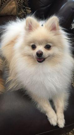 Bowser❤️ #Pomeranian