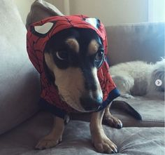 Halloween is almost here! Check out the top Dachshund Halloween costumes to inspire from! Dachshund Halloween Costumes, Halloween Hotdogs, Dachshund Costume, Dachshund Tattoo, Dachshund Puppies, Dogs And Puppies, Long Haired Dachshund, Cute Bee, Fancy Dress