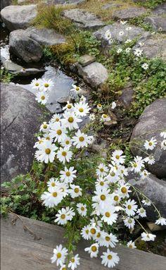 지리산 구절초모습 Little Flowers, Yellow Flowers, Beautiful Flowers, Valley Of Flowers, Bloom Where Youre Planted, Daisy Painting, Amazing Gifs, Orchid Plants, Arte Floral