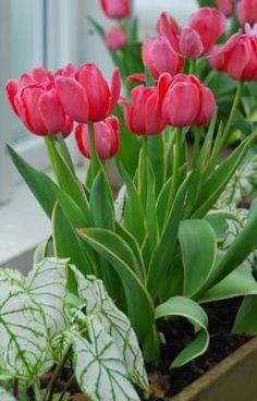 Tulip-Design-Impression-1.jpg