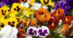Amor-perfeito é uma flor fácil de se manter e que dará uma vivacidade toda especial à sua varanda e jardim.