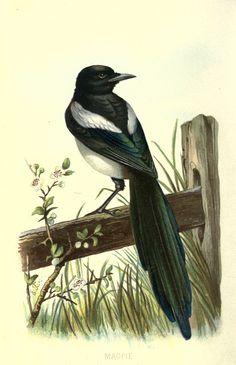 https://flic.kr/p/ac7d8E | n17_w1150 | Familiar wild birds. v.1. London ; New York :Cassell,1883. biodiversitylibrary.org/page/23905247