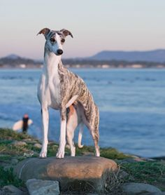 Whippet dog art portraits, photographs, information and… Hound Breeds, Dog Breeds, Whippet Puppies, Whippets, Animals And Pets, Cute Animals, The Perfect Dog, Raining Cats And Dogs, Grey Hound Dog