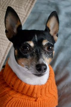 Orange sweater portrait time. #toy fox terrier