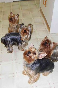 Yorkshire Terriers | Yorkshire Terrier breed profile | DogCast Radio