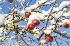 Apple Chilling Info: How Many Chill Hours Do Apples Need If you grow apple trees, then you are no doubt familiar with the chill hours for apple trees. For those of us who are new to cultivating apples, what exactly are apple chill hours? How many chill hours do apples need? Why do apple trees need chilling? Find out here.