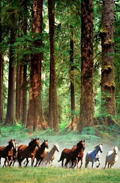 Horses running at the edge of redwood forest. Just amazing.