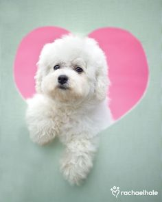 Mercedes (Bichon Frise Puppy) - Mercedes has a really big heart and lots of love to give.  (pic by Rachael Hale)