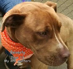 ***URGENT 6-30/15. Meet 19 Beverly, a Petfinder adoptable Terrier Dog | Canton, OH | Release date 6/20. Beverly was a little shy, but brave enough to let a volunteer take her outside,...