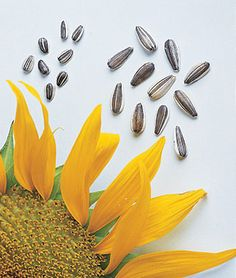 Sunflower, Super Snack Mix Hybrid