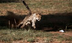 Cheetahs 'sprinting' towards extinction: wildlife study AND THE BEAT GOES ON.