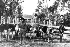 In the 1880's, the Fullerton Ostrich Farm belonging to Edward Atherton, located at the northeast corner of Dorothy and Acacia, became a prime tourist attraction.