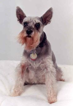 Our first Schnauzer -- adopted from Wayside Waifs in 1990 at age 5 -- she was the Queen of Everything and we adored her!