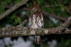 Pearl-spotted Owlet, Satara Camp, Kruger National Park. December, 2012