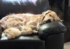 SLEEP TIGHT, GOLDEN RETRIEVER <3<3<3<3