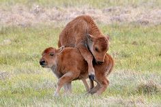 ~¥~  Bison calves playing  ~¥~