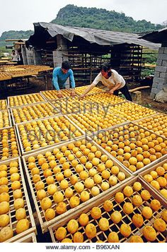 Guangxi farmers near Guilin drying Chinese persimmons (hong chee) at harvest time - Stock Image