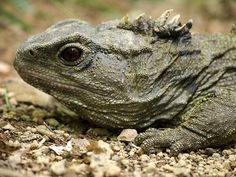 The Creature Feature: 10 Fun Facts About the Tuatara (or, Just the Tuatara of Us) Tuatara are reptiles endemic to New Zealand and which, although resembling most lizards, are part of a distinct lineage, the order Rhynchocephalia.