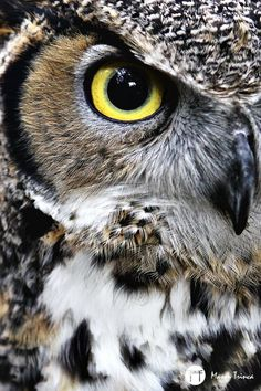 "klaravelez: "" The Great Horned Owl by Mason Trinca "" Owl Photos, Owl Pictures, Beautiful Owl, Animals Beautiful, Owl Bird, Pet Birds, Regard Animal, Owl Eyes, Great Horned Owl"
