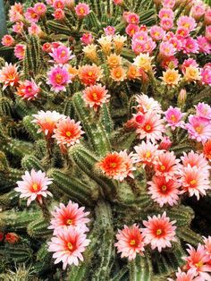 he echinocereus encompasses a large group of column-forming cacti, renowned for the rich colors of their bright, showy flowers that appear in the spring and summer.