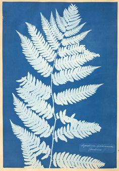 5-atkins-aspidium-cyanotype1.jpg (1500×2142)