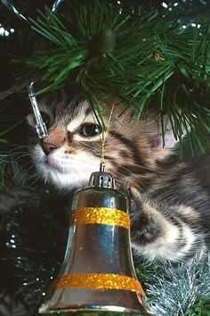 How to Cat Proof Your Tree -love this kitty face poking through the branches! Christmas Animals, Christmas Cats, Merry Christmas, Christmas Trees, Christmas Ornament, Ornaments, Crazy Cat Lady, Crazy Cats, Kittens Cutest