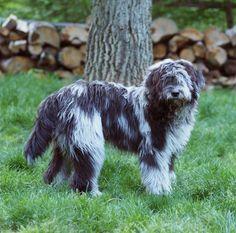 Bergamasco Sheepdog 17