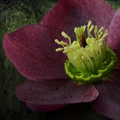 Hellebore in the Night by njk1951 on Flickr.