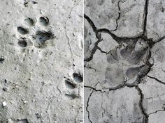 Bobcat and Coyote Tracks | Bobcat tracks on the left. Coyote track on the right.